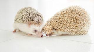 二匹のハリネズミ
